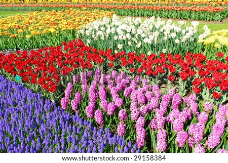 Colorful flowerbeds with tulips, grape hyacinths, hyacinths and daffodils in spring garden 'Keukenhof' in Holland - stock photo