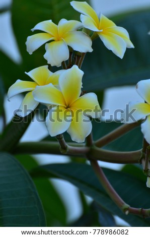 Colorful flowers in nature.Plumeria flower blooming in the beach. White and yellow frangipani flowers with sand in background.