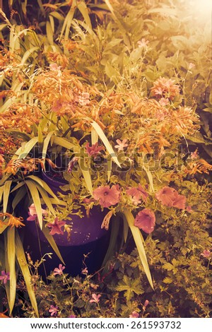 Colorful flowers in violet ceramic pot in overgrown garden in golden sunset light rays. Toned photo. - stock photo