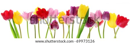 Colorful fresh spring tulips flowers border in a row on white background - stock photo