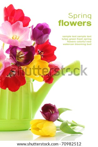 Colorful fresh spring tulips flowers in green watering can on white background - stock photo