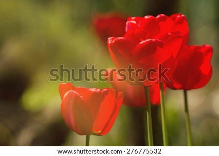 Colorful fresh spring tulips flowers with dew drops.Mother's Day card. Red tulips with green grass. Spring background with tulips. defocused image. - stock photo