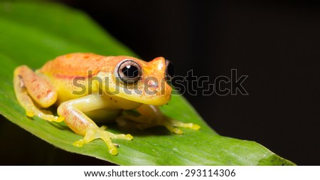 Colorful frog of the amazon Jungle. - stock photo