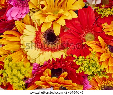 colorful gerber daisies close up, natural background - stock photo