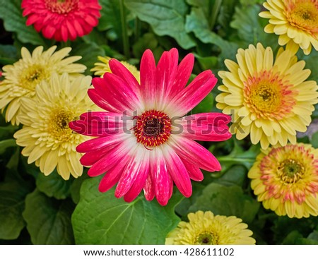 colorful  Gerber daisy flowers closeup in the garden - stock photo