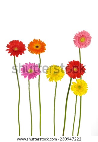 colorful gerbera flowers isolated  - stock photo