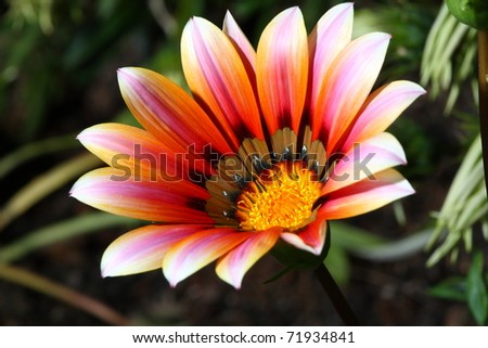 colorful Gerbera in garden. - stock photo