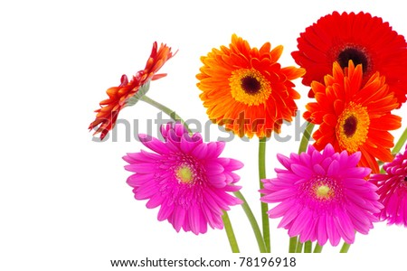 colorful gerberas flowers on white background - stock photo