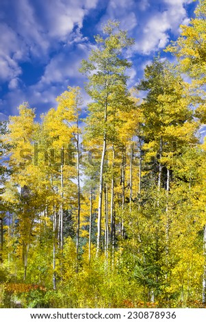 Colorful golden aspens pictured against a crisp fall sky - stock photo
