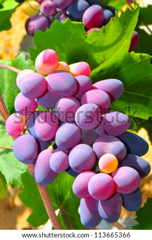 Colorful grape cluster ripened on cane - stock photo