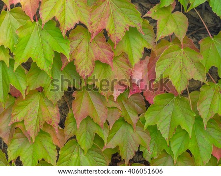 Colorful Grape Ivy climbing on a wall in autumn - stock photo