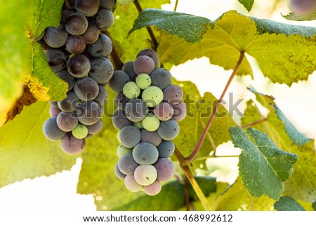 Colorful grapes growing on a vine in a wine vineyard in east Tennessee