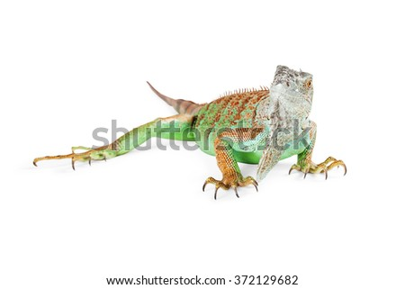 Colorful green Iguana lizard walking on a white studio background