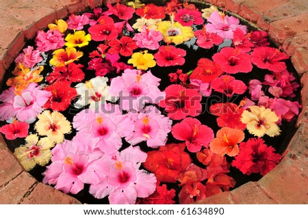 Colorful hibiscus flowers floating on water in a well. - stock photo
