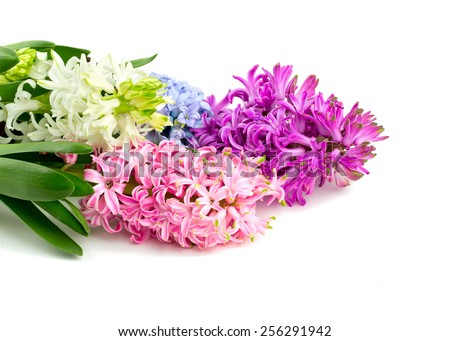 colorful hyacinth flowers isolated on white - stock photo