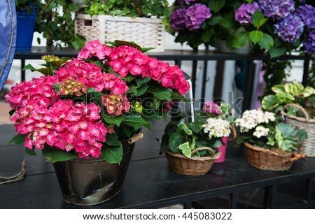 Colorful hydrangea flowers in the pot in spring and summer - stock photo