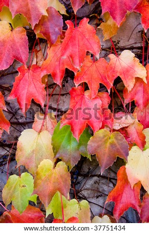 Colorful ivy leaves in the fall - stock photo