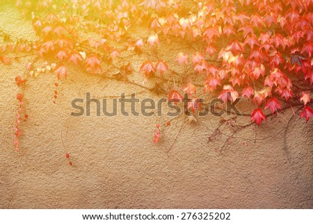Colorful ivy on the wall in autumn