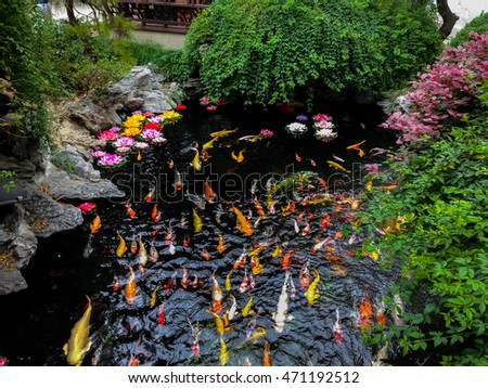 colorful japanese koi fish in a pond - Japanese Koi Garden