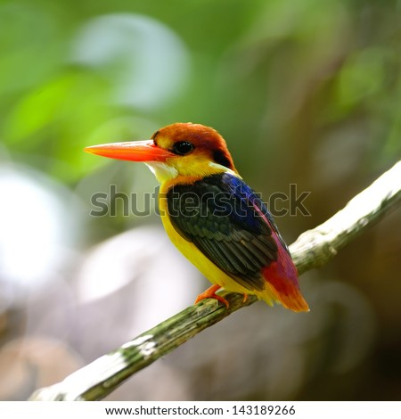 Colorful Kingfisher bird, Black-backed Kingfisher (Ceyx erithacus), back profile