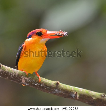 Colorful Kingfisher bird, Black-backed Kingfisher (Ceyx erithacus), breast profile