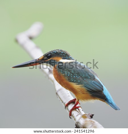 Colorful Kingfisher bird, female Common Kingfisher (Alcedo athis), standing on a branch