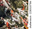 Colorful koi fish swimming in the pond. White, orange and black colored koi fish. Traditional japanese koi carps.  - stock photo