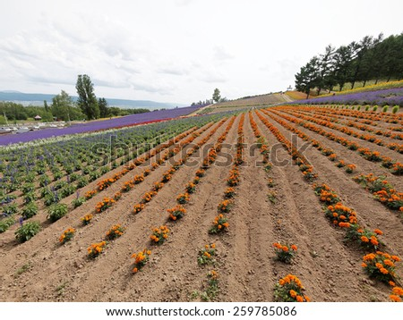 Colorful Lavender field at Tomita farm, Furano, Japan, It is the famous and beautiful flower fields in Hokkaido