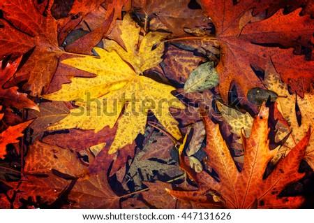 Colorful leaves in Autumn season - stock photo