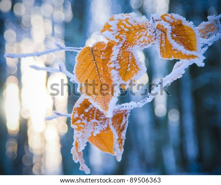 colorful leaves of the tree covered with snow in evening forest - stock photo