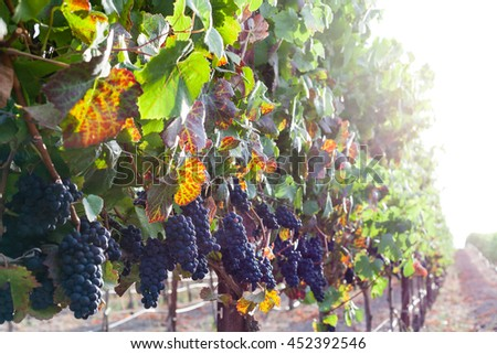 Colorful leaves, ripe red wine grapes on the vine at harvest. Grapevines in autumn, with green, yellow, red grape leaves. Vineyard row with soft sunlight in the fall. Grapes hang from vines. - stock photo