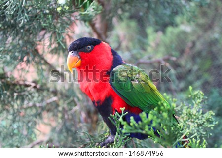 Colorful lorikeet looking with curiosity - stock photo