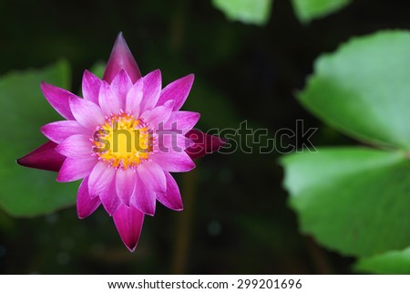 colorful lotus flower - stock photo