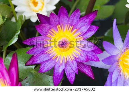 Colorful lotus flower blooming at summer.
