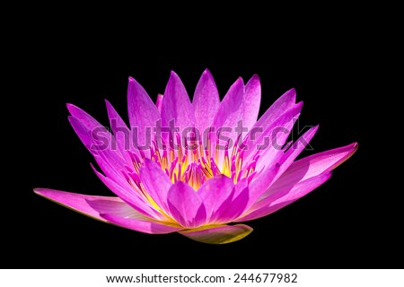 Colorful lotus in the swamp, On a black background - stock photo