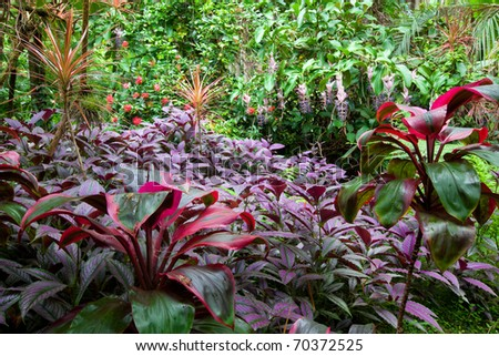 Colorful, lush tropical rain forest with a diverse range of plants and trees on Hawaii, the Big Island. Purple leaved Persian Shield plants in the foreground.