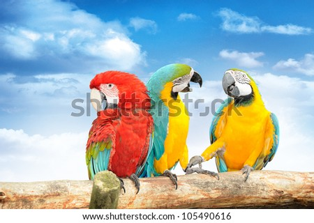 Colorful macaws against the blue sky. Macaws are members of the parrot family. - stock photo