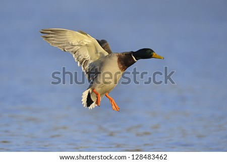 Colorful mallard duck comes in for a landing on water - stock photo