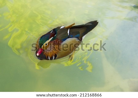Colorful mallard duck swimming in a pond - stock photo