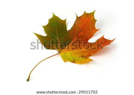 Colorful maple leaf on white background in autumn - stock photo
