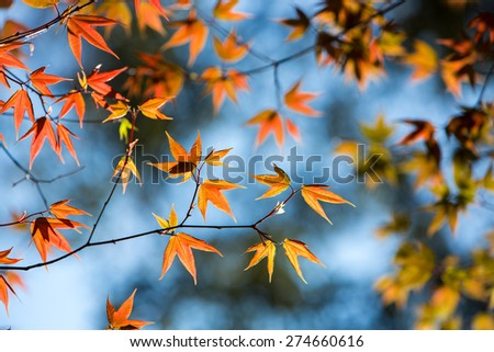 Colorful maple leafs backlit against blue sky taken at Phu hin Rong kla national park, Thailand