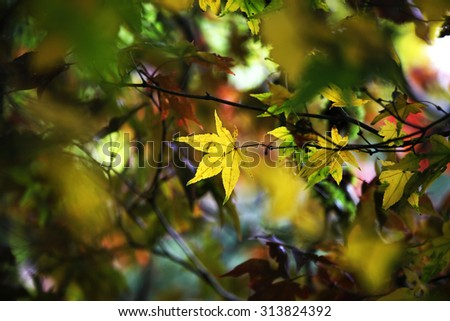Colorful maple leaves changing color - stock photo