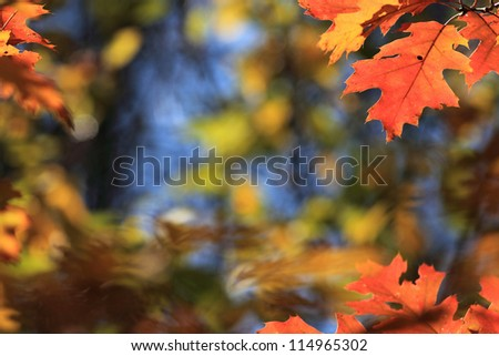 colorful maple leaves hanging from the tree in autumn