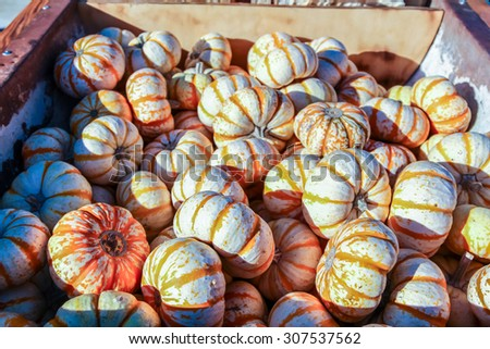 Colorful miniature orange and white pumpkins for sale at a Halloween pumpkin patch. - stock photo