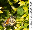 Colorful Monarch Butterfly laying eggs - stock photo