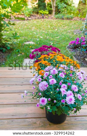 Colorful mum flowers in pots. - stock photo