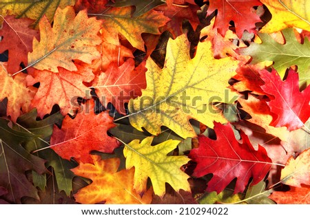 Colorful oak autumn tree leaves background. - stock photo