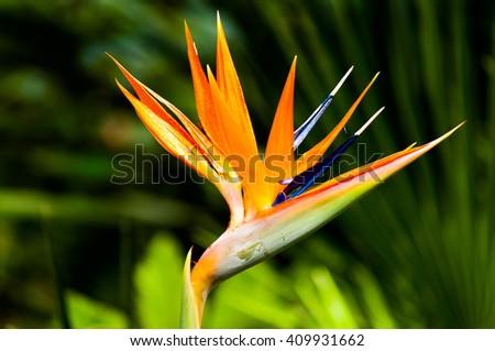 Colorful of Bird of paradise flower blossom in botanic garden - stock photo