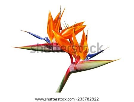 Colorful of  Bird of paradise flower blossom isolated on white background - stock photo