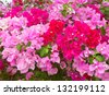 Colorful of bougainvillea flower - stock photo